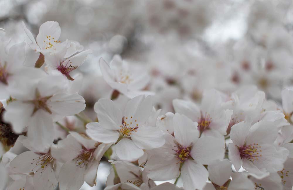 はじめての桜写真、5種類の撮り方を試しました