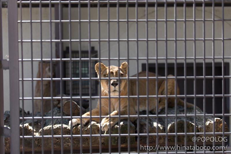 ライオンの檻