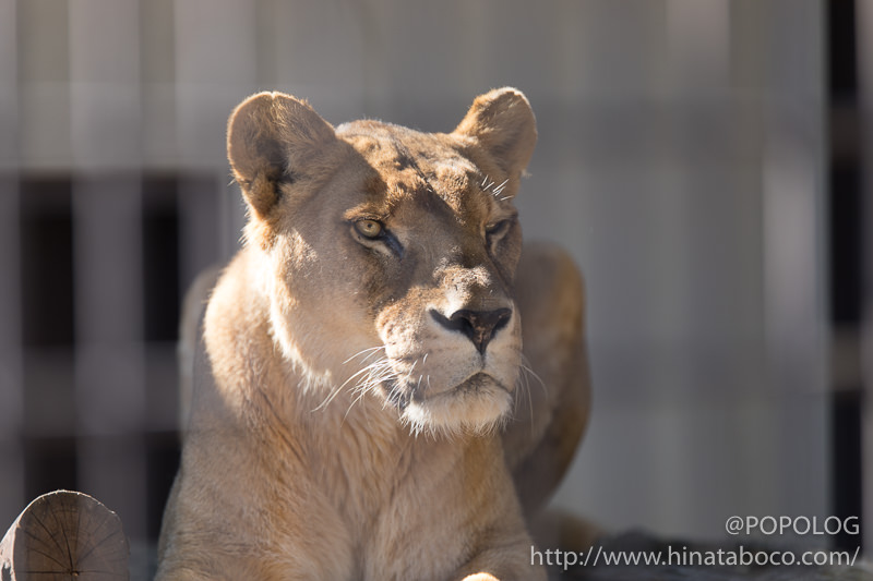 檻の中のライオンを撮影