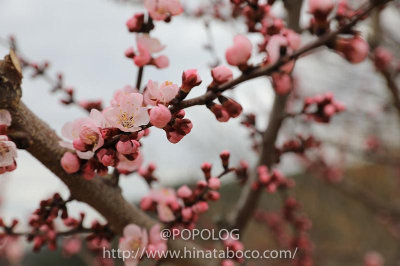 あんずの花 ピンク