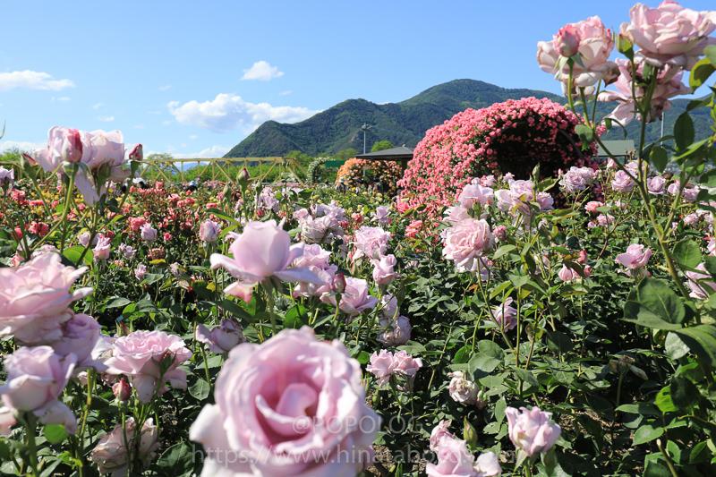 さかき千曲川バラ公園「ばら祭り」in 長野県埴科郡坂城町