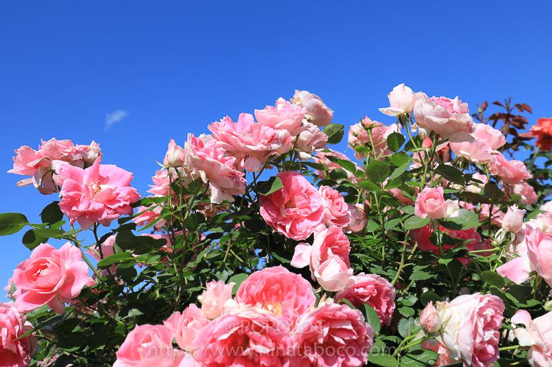 坂城町ばら祭りのピンクのバラ