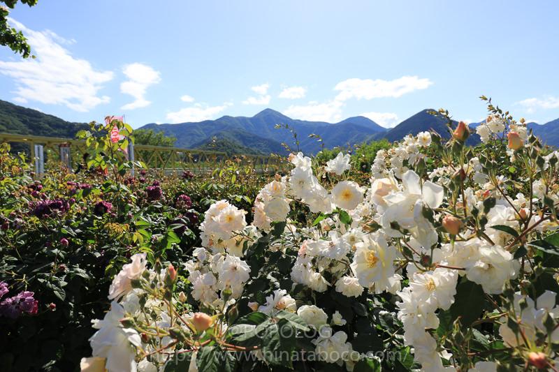 坂城町ばら祭りの白いバラ