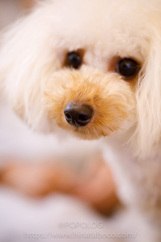 犬の撮影、鼻にピント