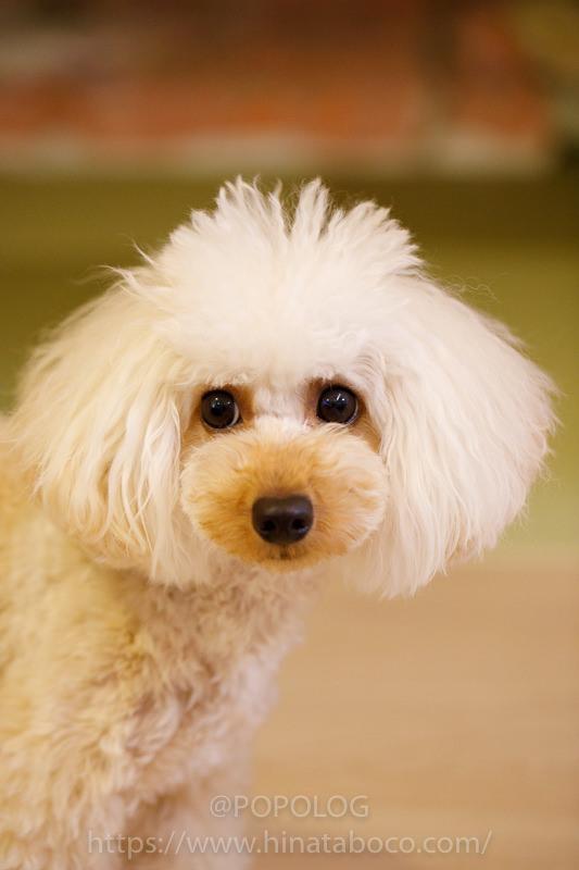 犬の写真撮影、目にピント