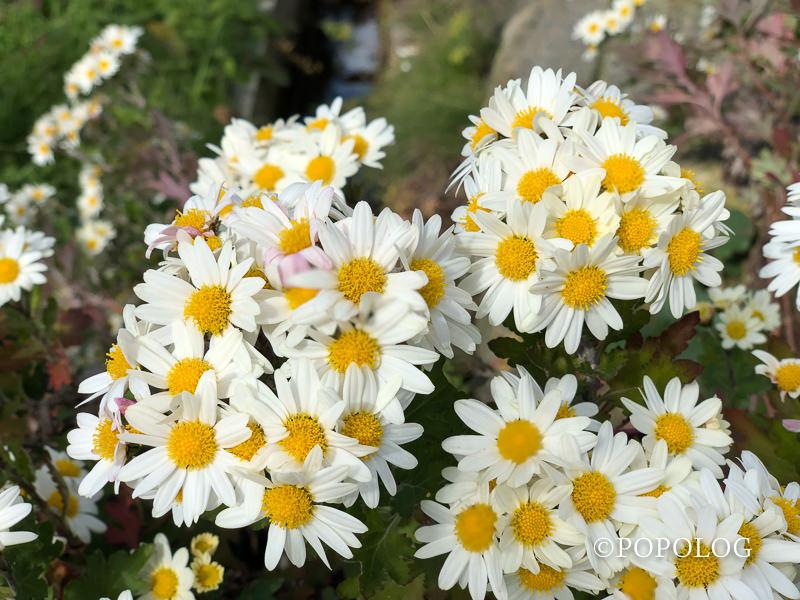 iPhoneXで秋の白花撮影募集