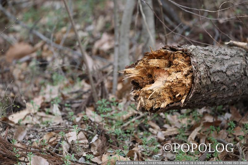 遊歩道の倒木