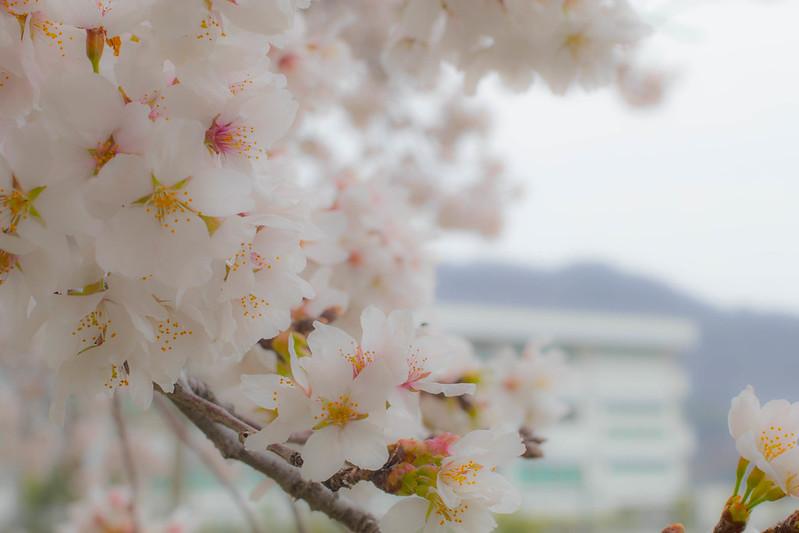 桜 ピンク レタッチ